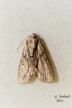Common Hyppa, Habrosyne gloriosa (Guenée, 1852)<br /> <br /> 932664 – 9578