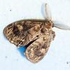 Unidentifiable Moth to species level (BAMONA)