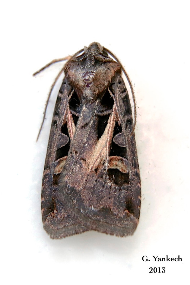 Master's Dart Moth, Feltia herilis – Grote, 1873<br /> <br /> (933503 – 10676)