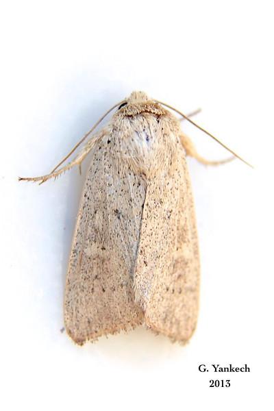 Unarmed Wainscot,  Leucania inermis – Forbes, 1936<br /> <br /> (932963 – 10459 )<br /> <br /> Identification confirmed BAMONA