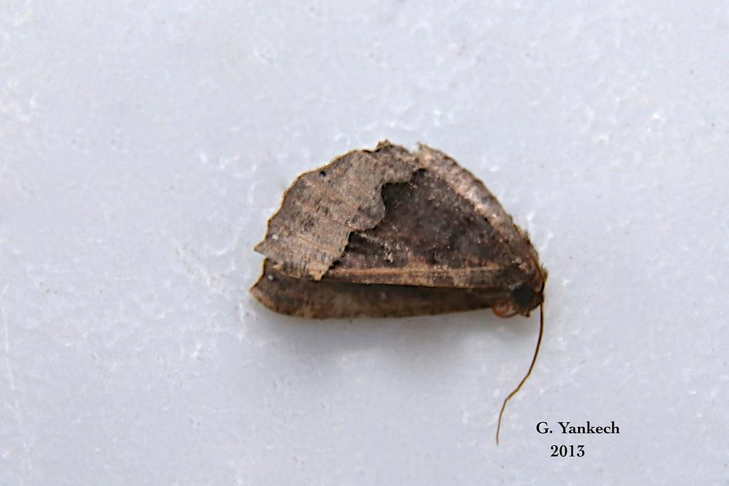 Hubner's Pero Moth,  Pero ancetaria – Hübner, 1806<br /> <br /> (199075 – 6748) <br /> <br /> Identification confirmed (BAMONA)