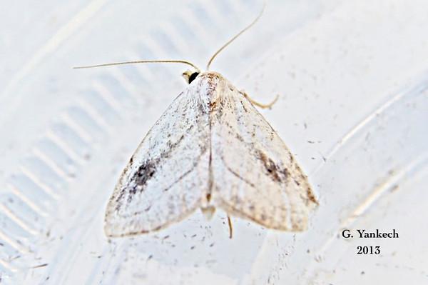 Spotted Grass Moth, Rivula propinqualis  – Guenée, 1854<br /> <br /> (930592 – 8404)