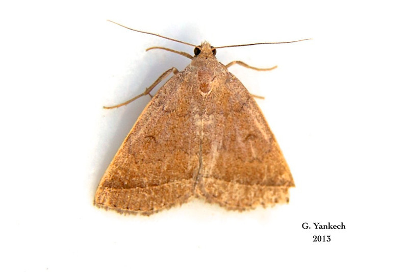 Wavy-lined Zanclognatha Moth, Zanclognatha jacchusalis– Grote, 1872<br /> <br /> (930500 – 8353)<br /> <br /> identified using Moth Photographers Group<br /> <br /> Yellowish Zanclognatha (BAMONA)