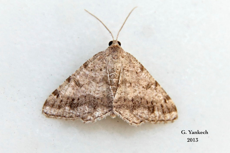 Faint-spotted Angle Moth,  Digrammia ocellinata  – (Guenée, [1858])<br /> <br /> (189525 – 6386)
