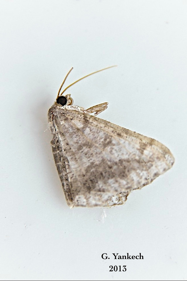 Undetermined Moth<br /> <br /> Identification pending confirmation