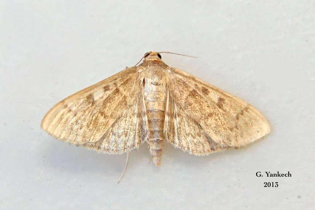 Bold-feathered Grass Moth, Herpetogramma pertextalis – (Lederer, 1863)<br /> <br /> (157400 – 5275)