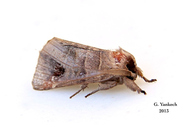 Sigmoid Prominent Moth, Clostera albosigma –  Fitch, 1856<br /> <br /> (930003 – 7895)