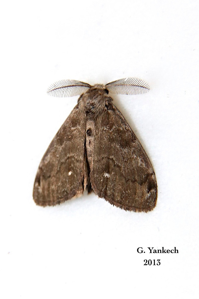 White-marked Tussock Moth,  Orgyia leucostigma – J.E. Smith, 1797<br /> <br /> (930168 – 8316 )<br /> <br /> Identification confirmed BAMONA