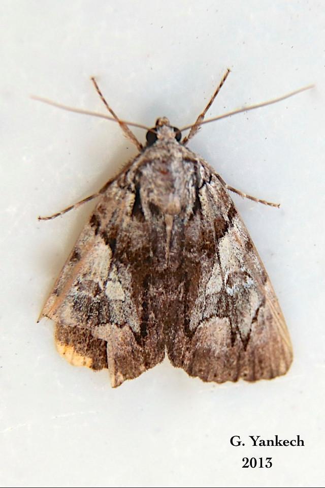 Cloaked Marvel Moth, Chytonix palliatricula –  Guenée, 1852<br /> <br /> (932249.5 – 9556)