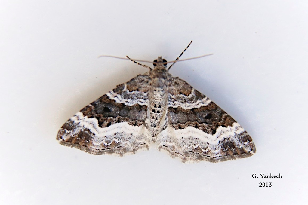 White-banded Toothed Carpet Moth, Epirrhoe alternata – Müller, 1764<br /> <br /> (216250 – 7394)