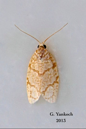 Yellow-winged Oak Leafroller Moth, Argyrotaenia quercifoliana – Fitch, 1858<br /> <br /> (110775 – 3623)