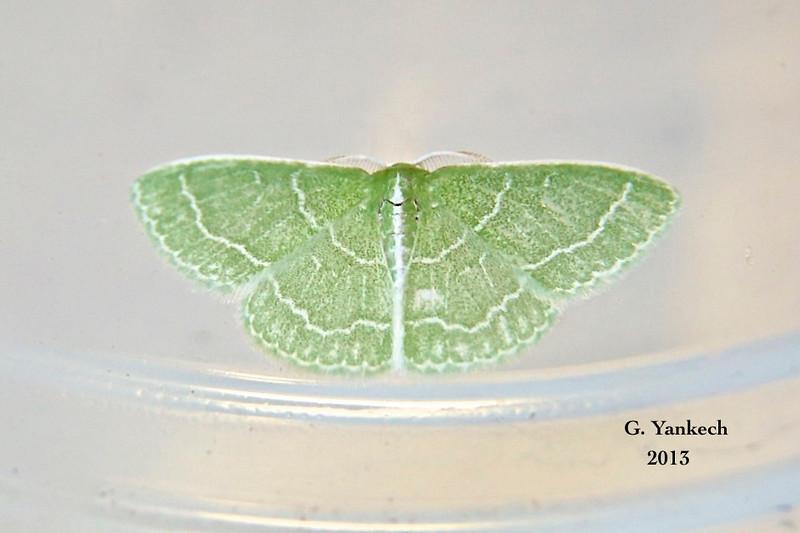 Wavy-lined Emerald Moth , Synchlora aerata – Fabricius, 1798<br /> <br /> (207400 – 7058 )