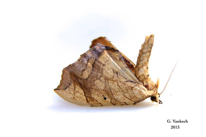 Eulithis (Grapevine Looper Moth)