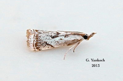 Elegant Grass-veneer Moth, Microcrambus elegans – Clemens, 1860<br /> <br /> (161500 – 5420)
