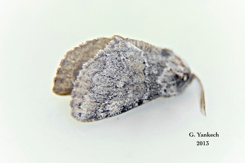 Common Gluphisia, Gluphisia septentrionis  – Walker, 1855<br /> <br /> (930019 – 7931)<br /> <br /> Identification confirmed BAMONA