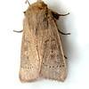 Ursula Wainscot Moth, Leucania ursula – Forbes, 1936<br /> <br /> (932965 – 10461)