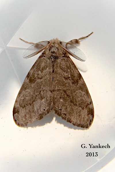 Variable Tussock Moth , Dasychira vagans  – Barnes & McDunnough, 1913<br /> <br /> (930146 – 8294)<br /> <br /> identification confirmed BAMONA