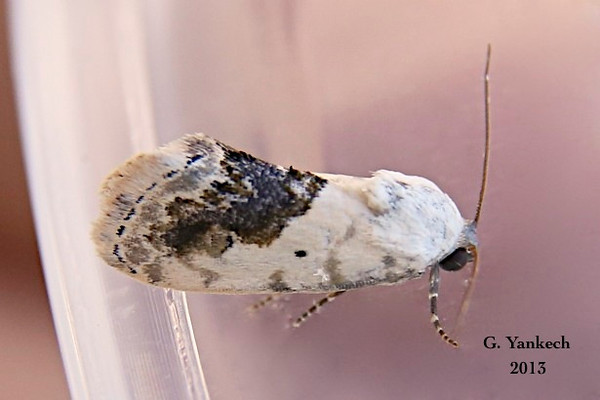 Small Bird-dropping Moth, Ponometia erastrioides  – Guenée, 1852<br /> <br /> (931319 – 9095)
