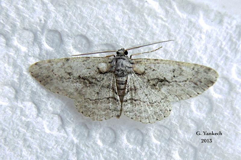 Common Gray Moth, Anavitrinella pampinaria –  – Guenée, [1858]<br /> <br /> (194925 – 6590)