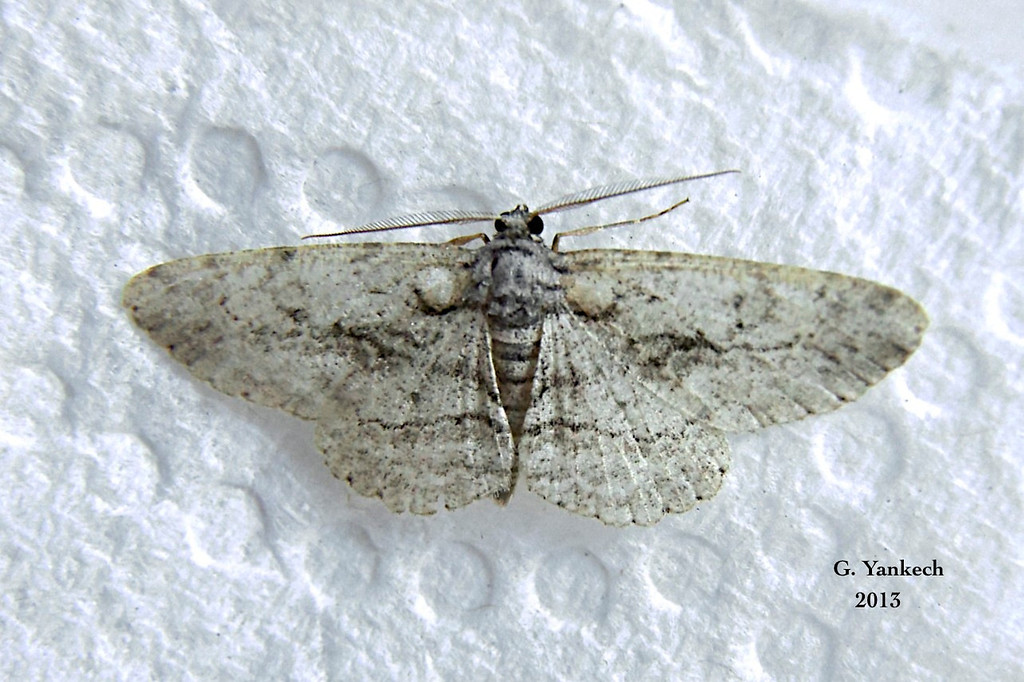 Common Gray Moth, Anavitrinella pampinaria –  – Guenée, [1858]<br /> <br /> (194925 – 6590)