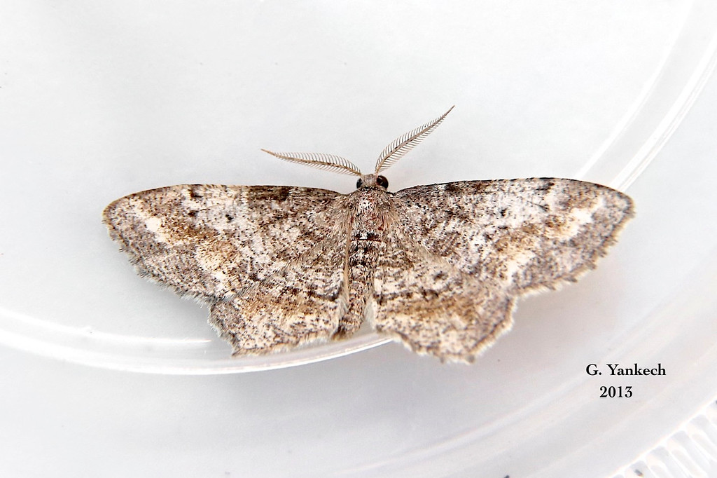 Pine Measuringworm Moth,  Hypagyrtis piniata  – (Packard, 1870)<br /> <br /> (196600 – 6656)