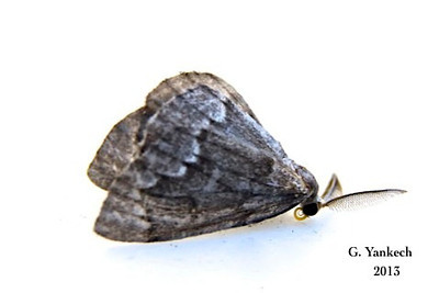 False Hemlock Looper, Nepytia canosaria - Walker, [1863]<br /> <br /> (203225-6906)<br /> <br /> Identification confirmed (BAMONA)