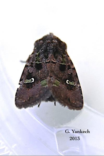 Bristly Cutworm Moth, Lacinipolia renigera – Stephens, 1829<br /> <br /> (933044 – 10397)