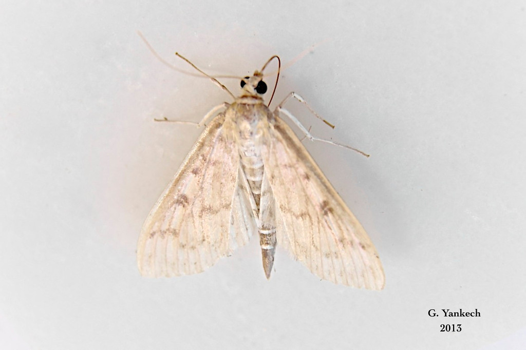 Bold-feathered Grass Moth, Herpetogramma pertextalis – (Lederer, 1863)<br /> <br /> (157400 – 5275)<br /> <br /> Identification confirmed BAMONA