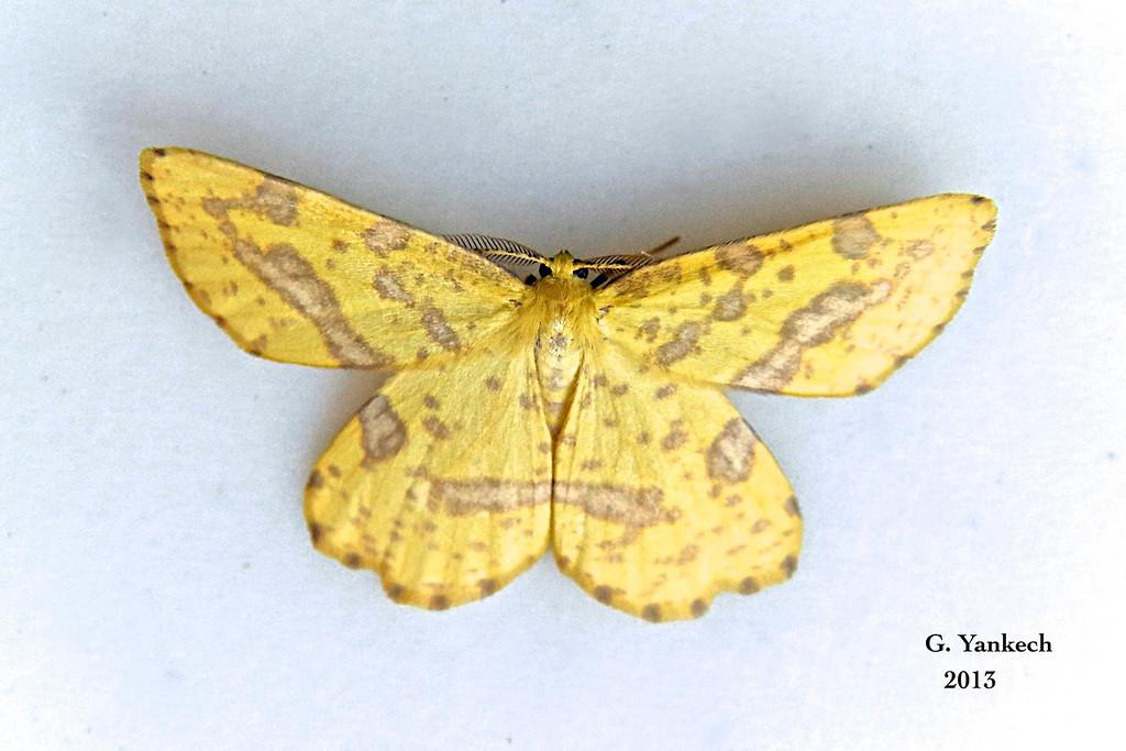 X. urticaria/sospeta (False Crocus Geometer/Crocus Geometer)