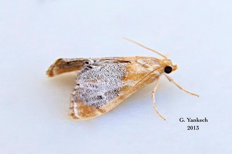 Chalcoela iphitalis – Sooty-winged Chalcoela Moth – (Walker, 1859)<br /> <br /> (147100 – 4895)