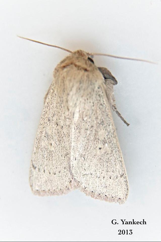 Ursula Wainscot ,  Leucania ursula – Forbes, 1936<br /> <br /> (932965 – 10461)<br /> <br /> Identification confirmed (BAMONA)