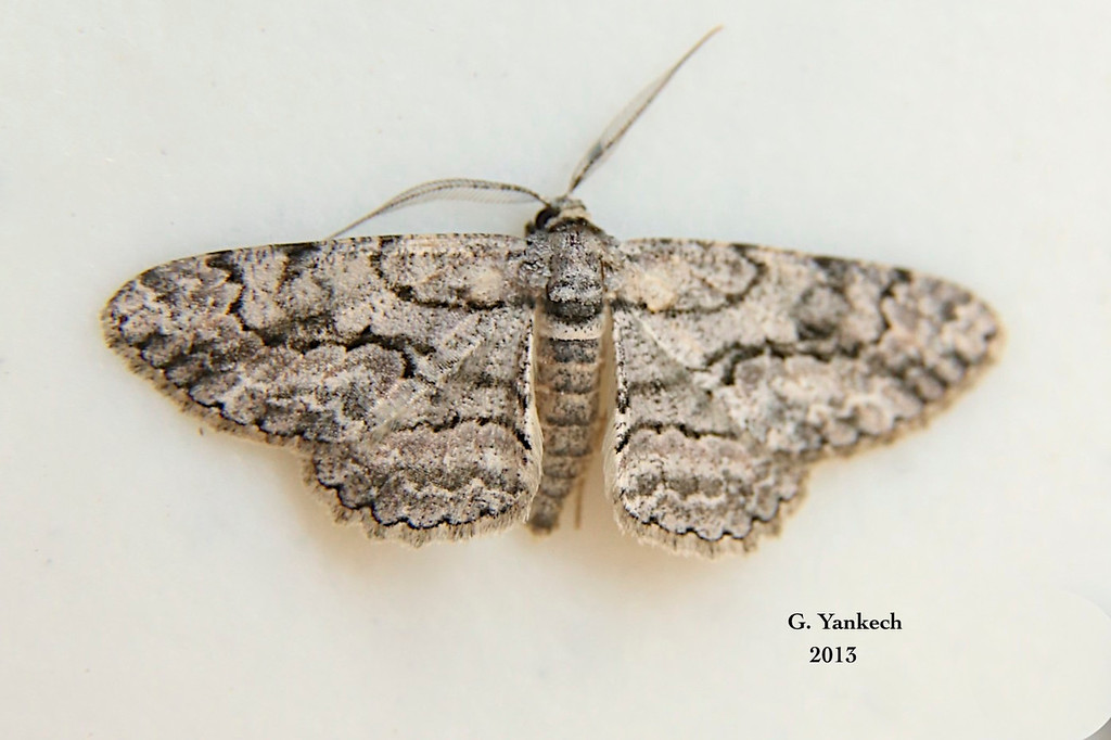 Pale-winged Gray Moth, Iridopsis ephyraria  – (Walker, 1860)<br /> <br /> (194725 – 6583)
