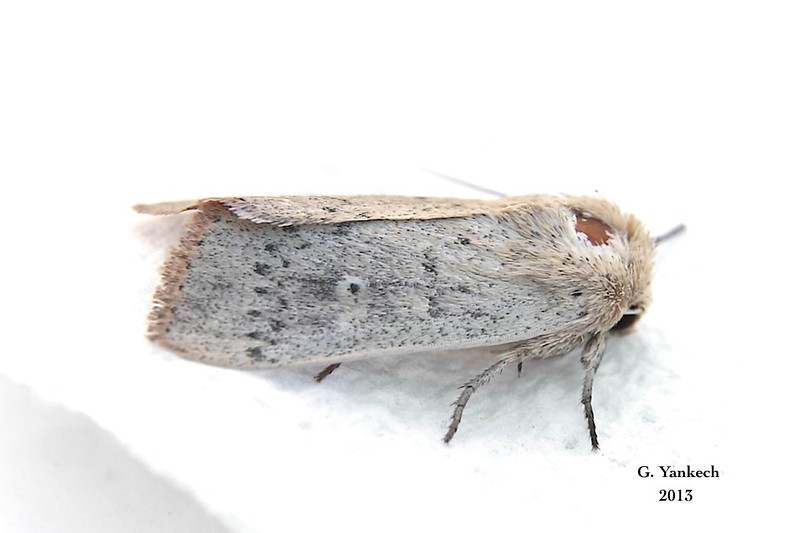 Unarmed Wainscot Moth, Leucania inermis –  Forbes, 1936<br /> <br /> (932963 – 10459)