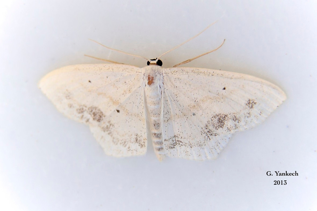Large Lace-border Moth, Scopula limboundata  – Haworth, 1809<br /> <br /> (210000 – 7159)