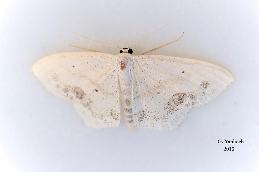 Large Lace-border Moth, Scopula limboundata  – Haworth, 1809<br /> <br /> (210000 – 7159)