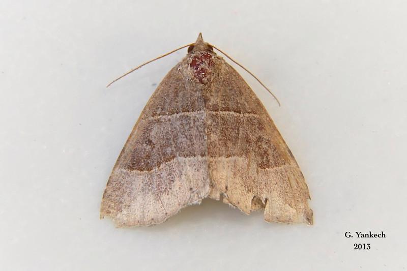 Maple Looper, Parallelia bistriaris – Hübner, 1818<br /> <br /> (930961 – 8727)<br /> <br /> identification confirmed BAMONA