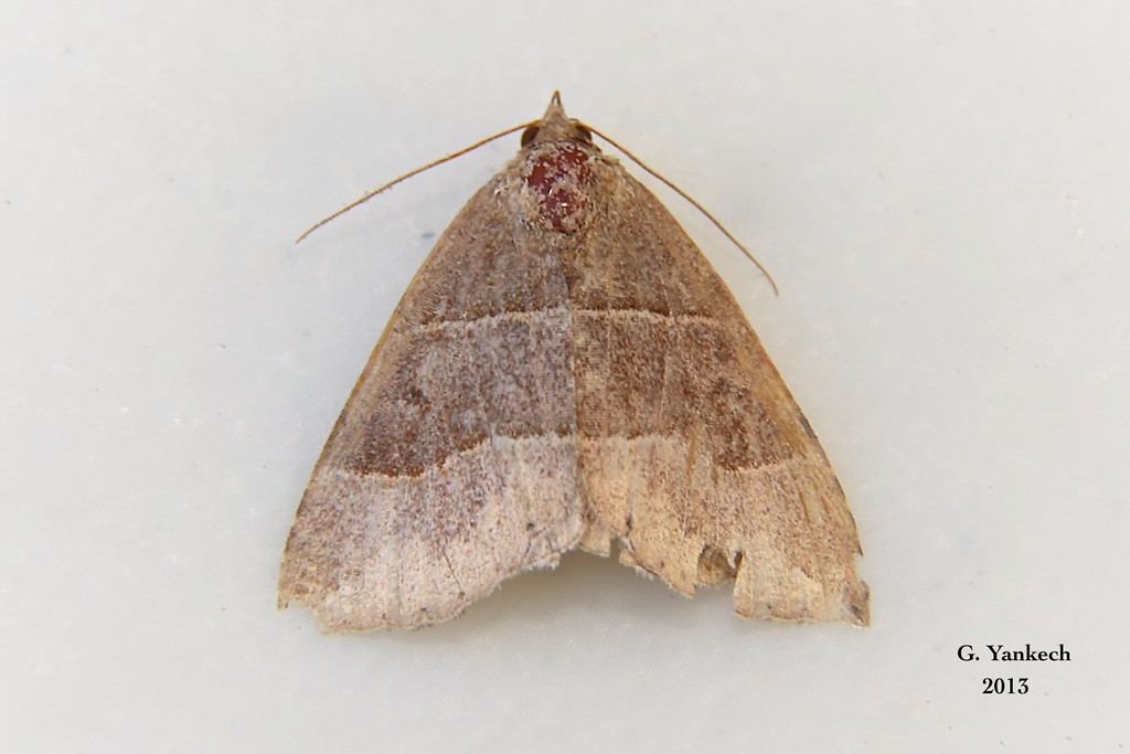 Maple Looper, Parallelia bistriaris – Hübner, 1818<br /> <br /> (930961 – 8727)<br /> <br /> identification confirmed BAMONA