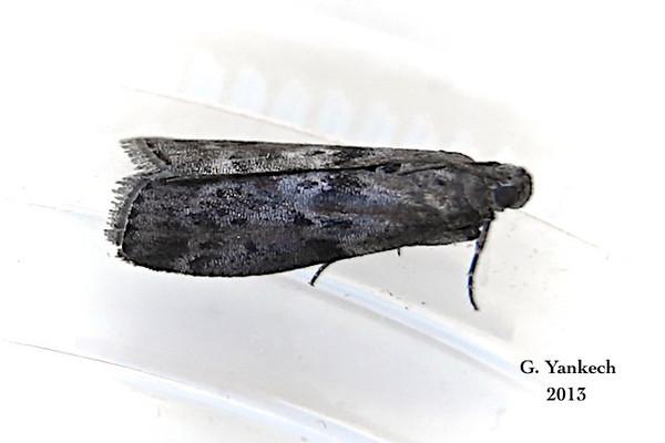 Locust Leafroller Moth, Sciota subcaesiella – Clemens, 1860<br /> <br /> (172050 – 5796)