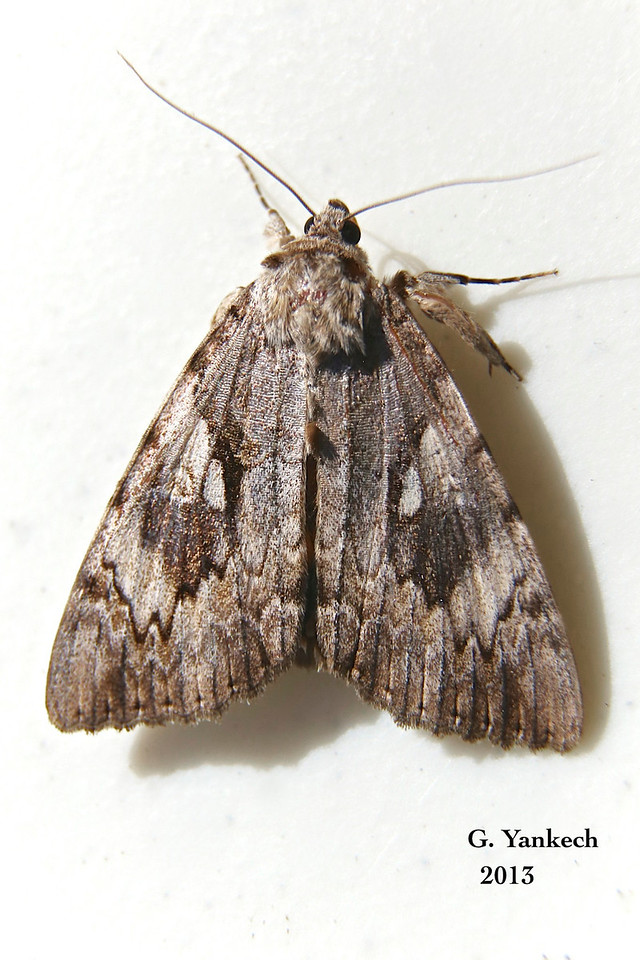 Yellow-banded Underwing, Catocala cerogama   – Guenée, 1852<br /> <br /> (930794 – 8802)