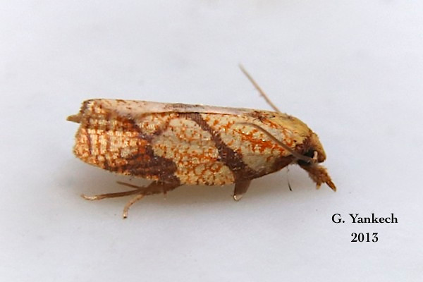 Sparganothis Fruitworm Moth, Sparganothis sulfureana – (Clemens, 1860)<br /> <br /> (113225 – 3695 )