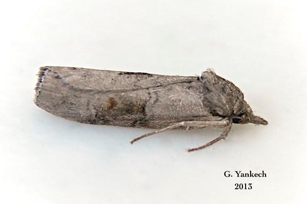 (Gray Midget), Nycteola cinereana, – Neumoegen & Dyar, 1893<br /> <br /> (931144-8977)<br /> <br /> Identification  confirmed (BAMONA)