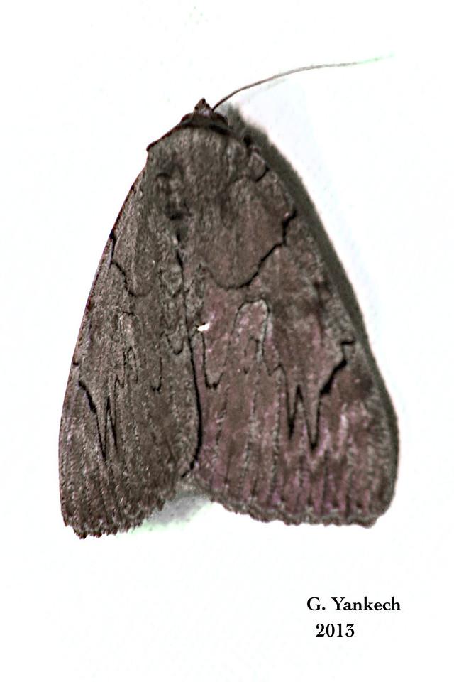 Darling Underwing Moth, Catocala cara – Guenée, 1852<br /> <br /> (930812 – 8832)