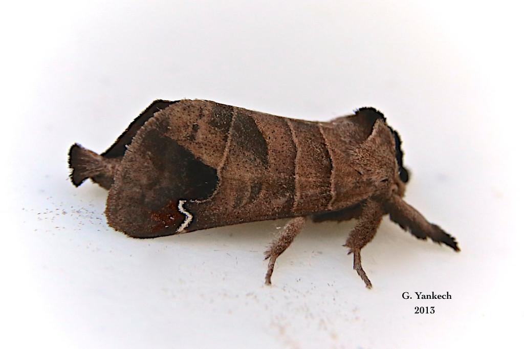 Sigmoid Prominent Moth, Clostera albosigma –  Fitch, 1856<br /> <br /> (930003 – 7895)