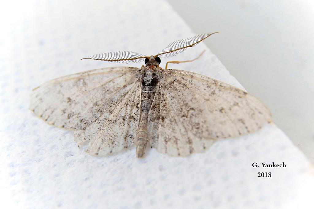 Porcelain Gray Moth,  Protoboarmia porcelaria  – Guenée, [1858]<br /> <br /> (195125 – 6598 )<br /> <br /> Identification  confirmed (BAMONA)