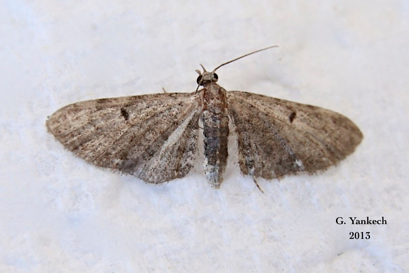 Common Eupithecia (Pug),  Eupithecia miserulata Moth – Grote, 1863<br /> <br /> (218275 – 7474)