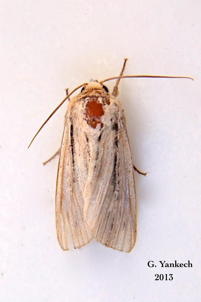 Leucania commoides (Comma Wainscot) – Guenée, 1852<br /> <br /> (932947 – 10447)
