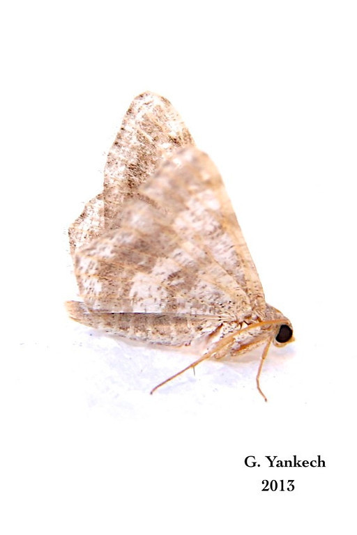 Undetermined Moth<br /> <br /> probably unidentifiable BAMONA