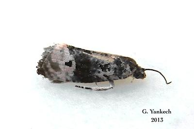 Pink-washed Leafroller Moth, Metendothenia separatana – Kearfott, 1907<br /> <br /> (088700 – 2860)