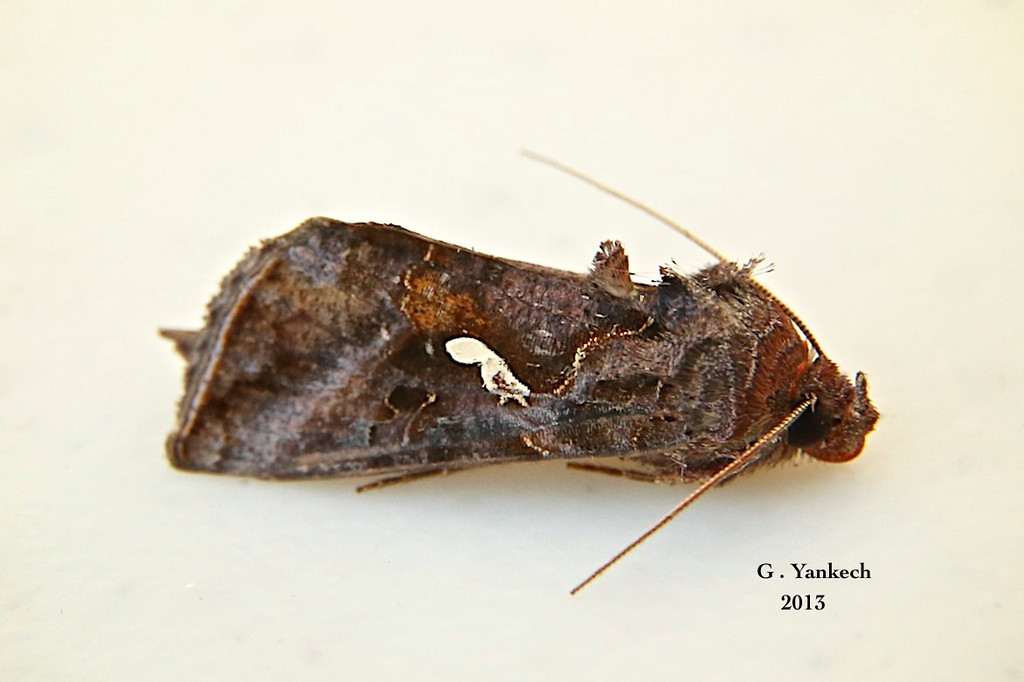 Common Looper Moth, Autographa precationis –  Guenée, 1852<br /> <br /> (931191 – 8908)