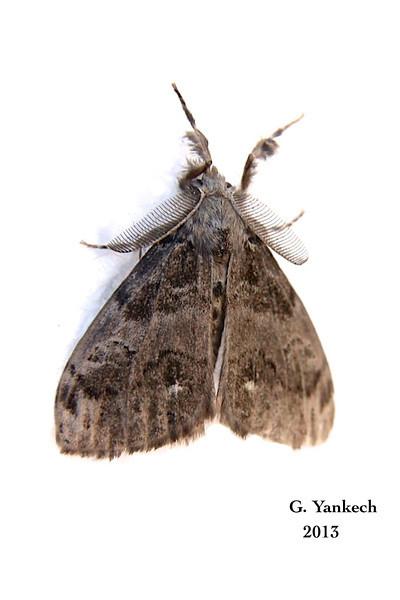 Tussock Moth<br /> <br /> species identification  unidentifiable BAMONA